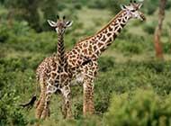 草原上的可爱长颈鹿组图