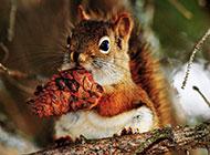 可爱的松鼠雪地嬉戏图片