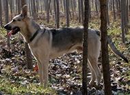 沉穩勇敢的狼青犬圖片