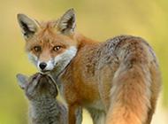 心爱的狐狸高清摄影图片