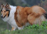 有靈性的純種蘇格蘭牧羊犬圖片