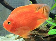 紅財神鸚鵡魚游來游去圖片