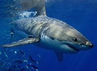 熱帶大白鯊魚圖片模樣兇狠