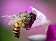 春天蜜蜂与花风景桌面壁纸