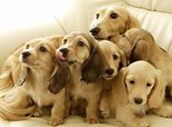 可爱美式可卡犬图片特写