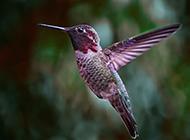 空中飞翔的蜂鸟摄影图片
