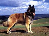 德國狼犬戶外帥氣寫真圖片
