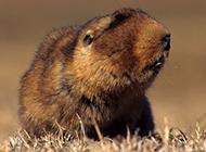 草原鼢鼠牙齿锋利图片