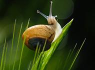 清晨可爱的蜗牛图片