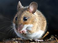 活动猖獗的小田鼠图片