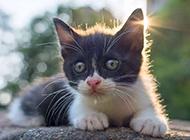 曬太陽的中華田園貓黑白圖片