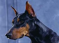 最凶的杜宾犬头部特写图片