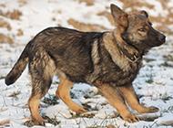 東德牧羊犬幼崽自由玩耍圖片