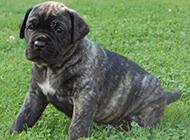 蠢萌的狗卡斯羅犬幼犬圖片