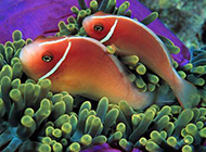 小丑魚熱帶海魚圖片
