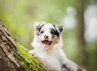 树林里的边境牧羊犬高清图片