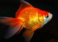 高清金魚圖片特寫