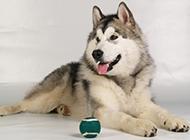 小雪橇犬宠物狗图片壁纸