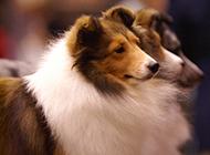 喜乐蒂牧羊犬幼犬安静优雅模样图片