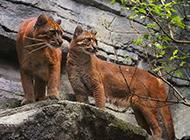 野外觅食的金猫图片