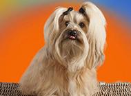 造型獨特的純種西施犬圖片