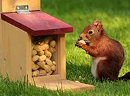 吃花生的松鼠高清摄影图片