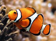 紅小丑魚海底玩耍圖片