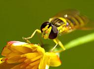 有益昆虫蜜蜂高清壁纸图片