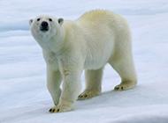 高大壯實的可愛北極熊圖片