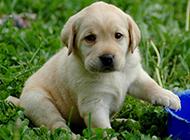 純種拉布拉多犬幼犬超萌圖片