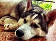 可爱雪橇犬哈士奇高清图片