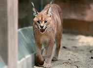 狞猫图片走路姿态霸气自信