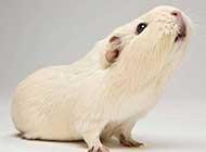 超级萌的小豚鼠桌面高清壁纸