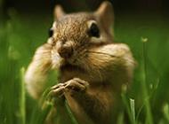 不怕生的可爱花栗鼠图片