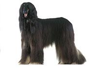 阿富汗獵犬高貴外表圖片