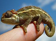 小巧高貴的寵物蜥蜴圖片