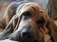 尋血獵犬慵懶憂郁圖片