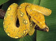 冷血嚇人的黃金蟒蛇圖片