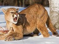 兇殘捕食的大金貓圖片