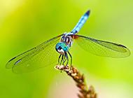 蜻蜓昆虫高清摄影图片