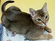 埃及貓圖片乖巧模樣惹人喜愛