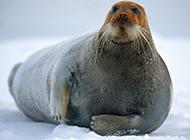 体态肥硕的象海豹图片