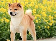 最漂亮日本柴犬圖片欣賞