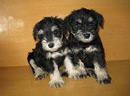 小型雪纳瑞犬卖萌图片