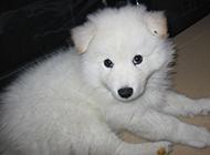 五十多天大白熊犬幼犬圖片
