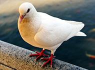 姿态优雅高贵的红爪白色信鸽图片
