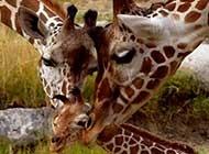 心爱植物长颈鹿精选图片