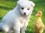 小薩摩耶犬模樣聰明可愛圖片