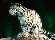 成年的野生豹貓圖片大全