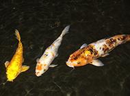 孔雀錦鯉水中自在暢游圖片